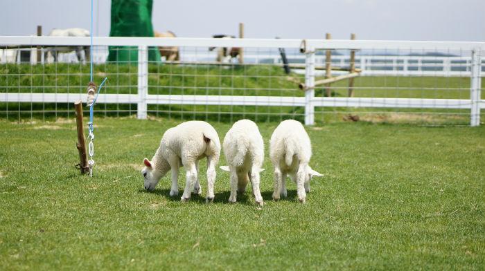 ワールド牧場の羊