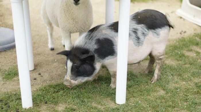 ワールド牧場の豚