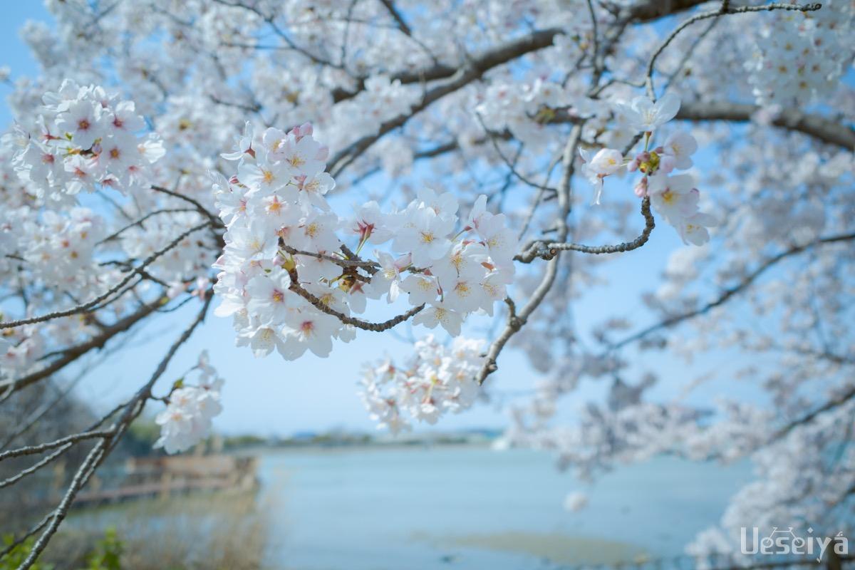 舟渡池公園の桜
